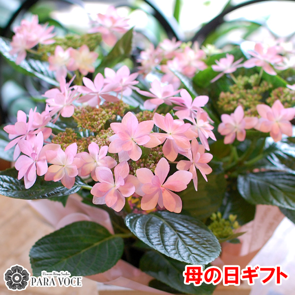 母の日ギフト ダンスパーティ 花鉢 鉢花 紫陽花 あじさい アジサイ ピンク