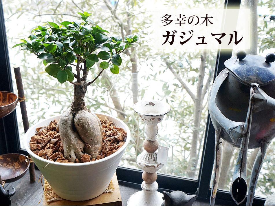 母の日 花 ギフト プレゼント ガジュマル 母の日プレゼント ギフト 観葉植物 ガジュマル 7号鉢 母の日メッセージカード付 多幸の樹