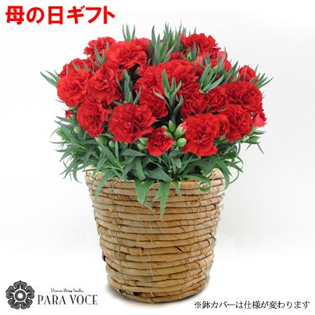 母の日ギフト 赤いカーネーションの花鉢 鉢花 5号鉢