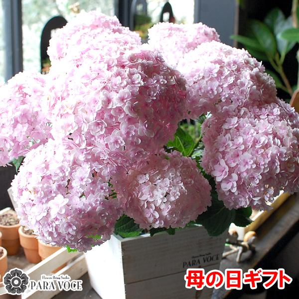 母の日ギフト 紫陽花の花鉢 てまりてまり あじさい 鉢花 可愛い